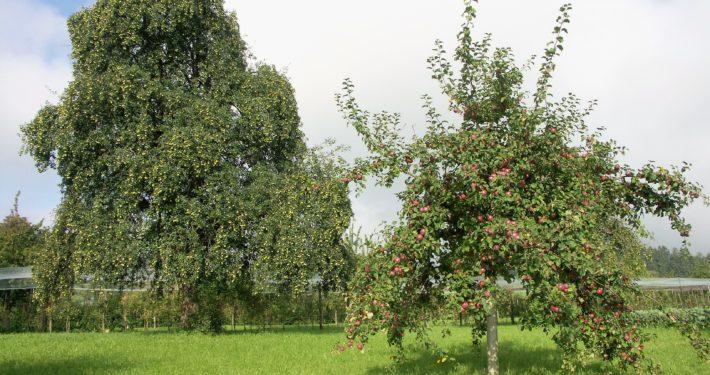 Blick auf zwei Hochstammbäume