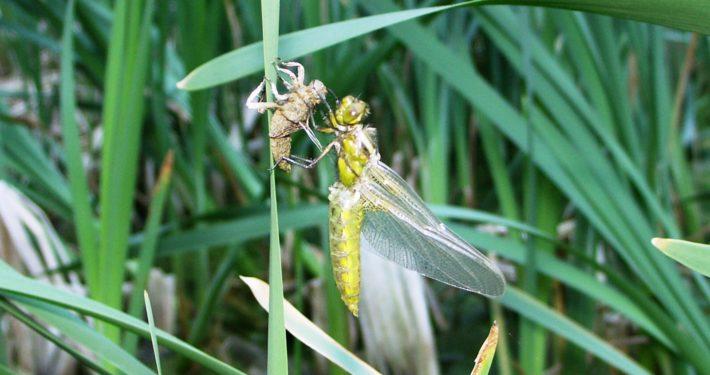 Libelle in unserem Weiher